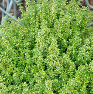 Echter Zitronen Thymian Variegatus - Thymus citriodorus