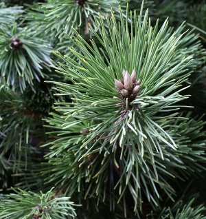 Japanische Schwarzkiefer Maijima 50-60cm - Pinus thunbergii