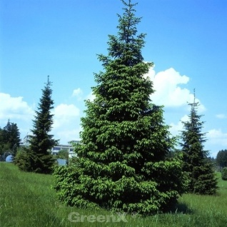 Purpur Fichte 100-125cm - Picea purpurea