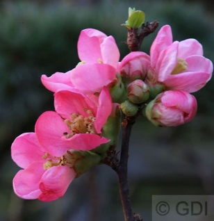 Zierquitte Pink Lady 40-60cm - Chaenomeles