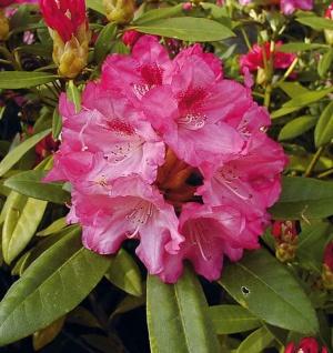 Hochstamm Rhododendron Sneezy 80-100cm - Alpenrose