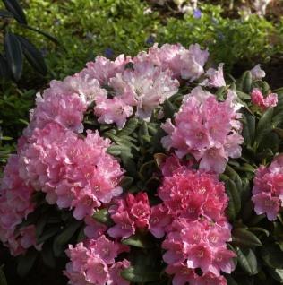 Hochstamm Rhododendron Colibri 40-60cm - Alpenrose