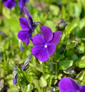 Hornveilchen Hansa - Viola cornuta