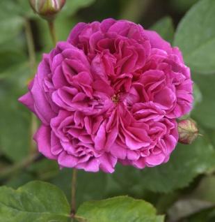 Englische Rose William Shakespeare® 30-60cm