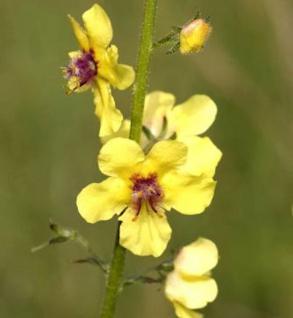 Französische Königskerze - Verbascum chaixii