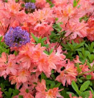 Azalee Gemini 60-80cm - Rhododendron luteum Gemini 60-80cm - Rhododendron luteum - Alpenrose
