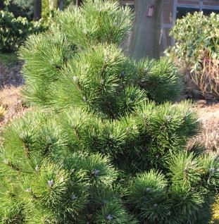 Gedrungene Zwerg Schwarzkiefer 50-60cm - Pinus nigra