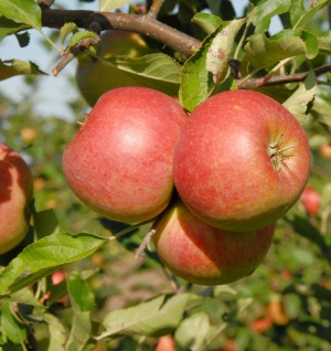 Apfelbaum James Grievel 60-80cm Frühapfel und säuerlich