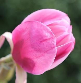 Hochstamm Magnolie Sweet Valentine 100-125cm - Magnolia soulangiana