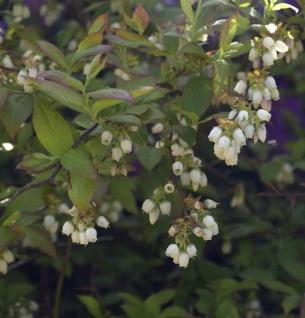 Heidelbeere Herma 80-100cm - Vaccinium corymbosum