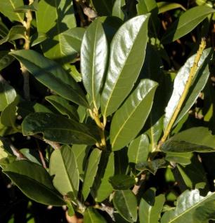 Kirschlorbeer Elly® 100-125cm - Prunus laurocerasus
