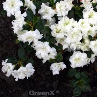 Japanische Azalee Eisprinzessin® 30-40cm - Rhododendron obtusum - Zwerg Alpenrose