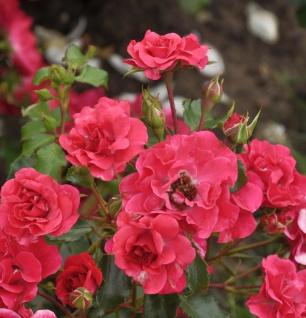 Hochstamm Rose Rotilia 80-100cm