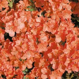 Japanische Azalee Satschiko 25-30cm - Rhododendron obtusum - Zwerg Alpenrose