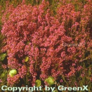 10x Grauheide C D Eason - Erica cinerea