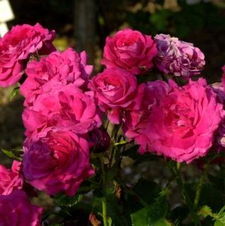 Hochstamm Rose Alexander von Humboldt 80-100cm