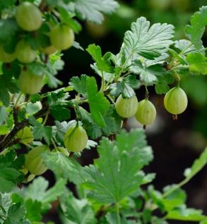 Stachelbeere grün - Ribes uva-crispa
