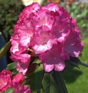 Hochstamm Rhododendron Fantastica 80-100cm - Alpenrose
