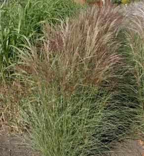 Chinaschilf Silberspinne - XXXL Topf - Miscanthus sinensis