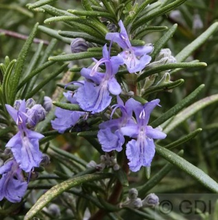 Rosmarin Repens - Rosmarinus officinalis