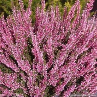 10x Knospenheide Gardengirls Susanne - Calluna vulgaris