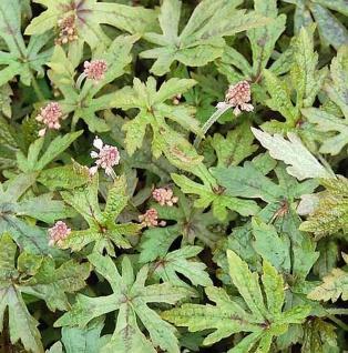 Zipfelblättrige Garten Schaumblüte Arpegio - Tiarella laciniata