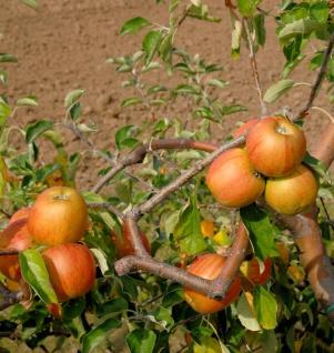 Apfelbaum Signe Tilisch 60-80cm - feinwürzig und mildsäuerlich