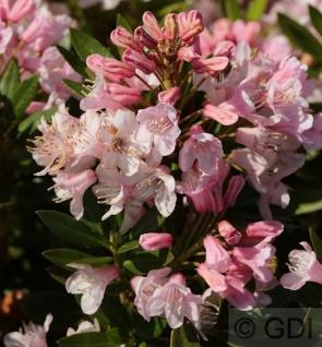 Kleinblütiger Rhododendron Bloombux® 50-60cm - Rhododendron micranthum