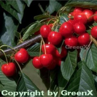 Süßkirsche Büttners Rote Knorpel 60-80cm - hellrote süße Früchte