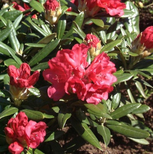 Rhododendron Bohlkens Roter Stern® 40-50cm - Rhododendron williamsianum