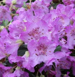 Rhododendron Azurella 50-60cm - Rhododendron calostrotum