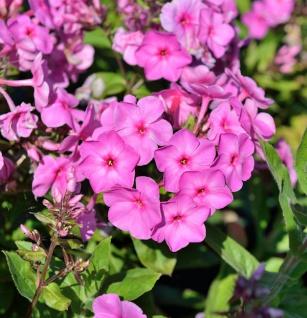 Hohe Flammenblume Pink Flame® - Phlox paniculata