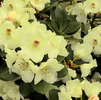 INKARHO - Rhododendron Flava 25-30cm - Alpenrose