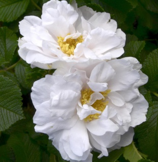 Bodendeckerrose White Roadrunner 20-30cm