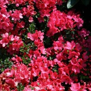 Japanische Azalee Anne Frank 25-30cm - Rhododendron obtusum - Zwerg Alpenrose