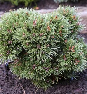 Zwerg Kugel Kiefer Heideperle 20-25cm - Pinus uncinata