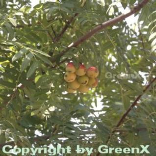 Speierling 125-150cm - Sorbus domestica - Vorschau