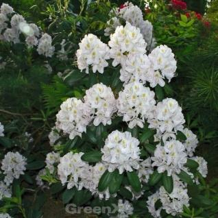Großblumige Rhododendron Silberpfeil 40-50cm - Alpenrose