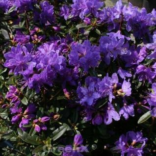 Zwerg Rhododendron Enziana 30-40cm - Rhododendron russatum - Zwerg Alpenrose