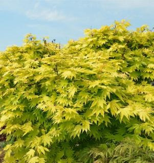 Japanischer Goldahorn Jordan 100-125cm - Acer shirasawanum Jordan - Vorschau