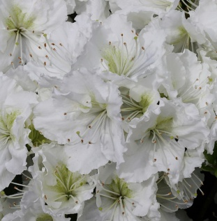 Japanische Azalee Patricia Barmold 20-25cm - Rhododendron luteum - Zwerg Alpenrose