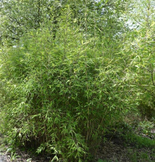 Gartenbambus Green Arrows 125-150cm - Fargesia murielae