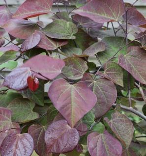 Kanadischer Judasbaum Ruby Falls 100-125cm- Cercis canadensis