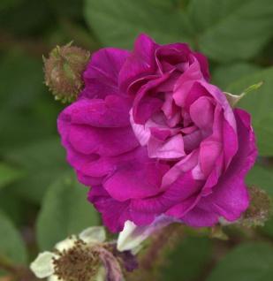 Historische Rose William Lobb 30-60cm