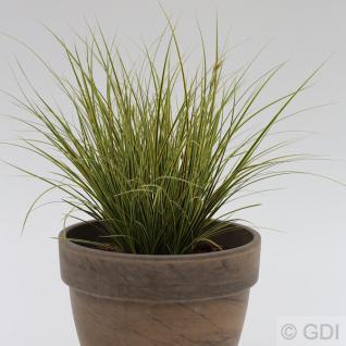 Segge Jenneke - großer Topf - Carex brunnea
