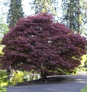 Roter Fächerahorn 60-80cm - Acer palmatum Atropurpureum