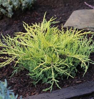 Gelber Strauchwacholder Golden Saucer 15-20cm - Juniperus media