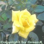Edelrose Landora® 30-60cm