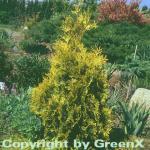 Lebensbaum Sunkist 100-125cm - Thuja occidentalis
