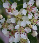 Hochstamm Apfelbeere Hugin 80-100cm - Aronia melanocarpa